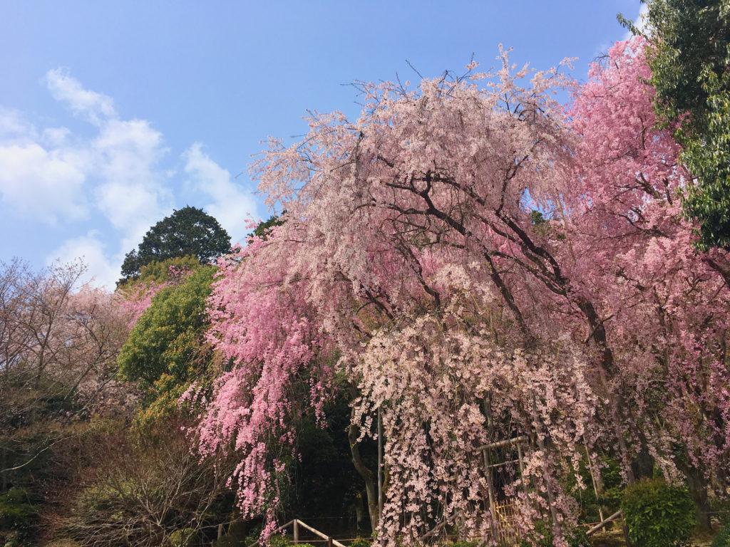 春の紅枝垂桜