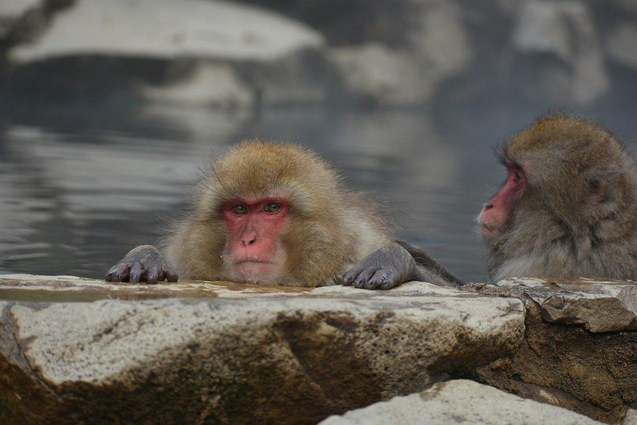 地獄谷野猿公苑で温泉に浸かるサルたちに出会おう!