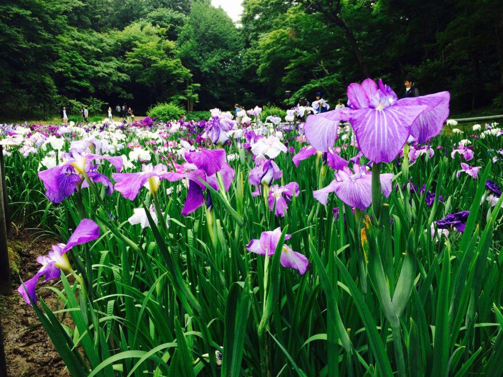 御苑の花菖蒲