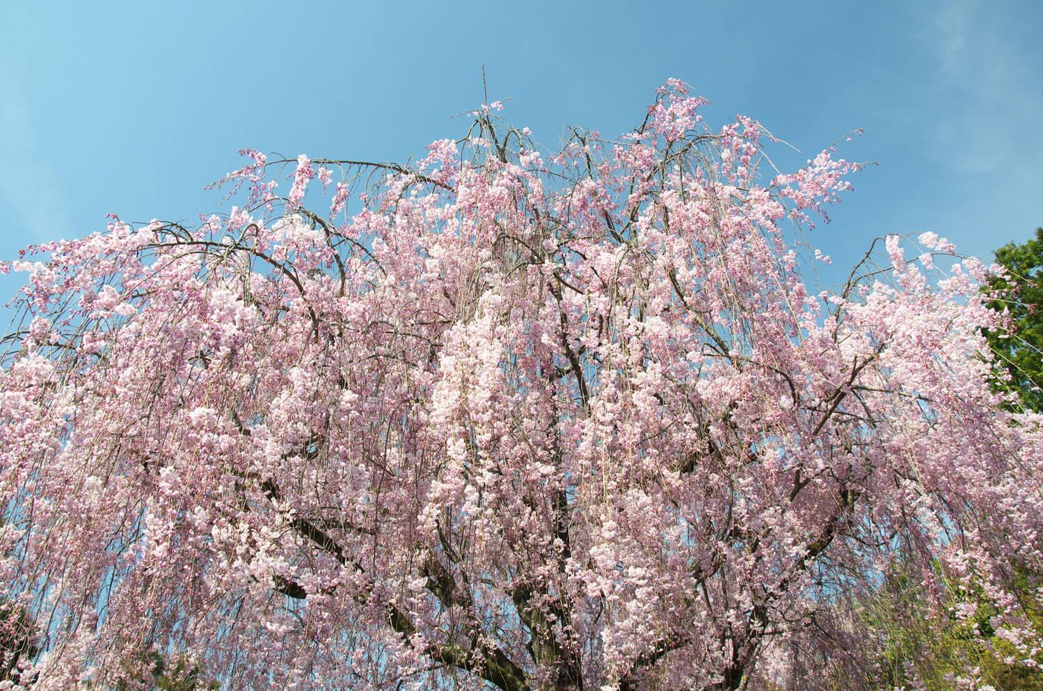 京都観光 > 京都市・祇園・嵐山観光 > 春に見られる枝垂れ桜が美しい!京都観光で行きたい「瑞光院」の見どころ