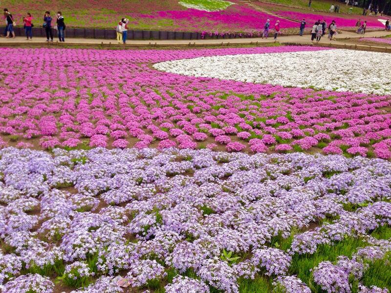 春になると芝桜が美しい!埼玉 秩父にある「羊山公園」の魅力