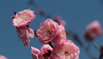 春の訪れはもうすぐ! 山梨県の観梅の名所に出掛けてみませんか?