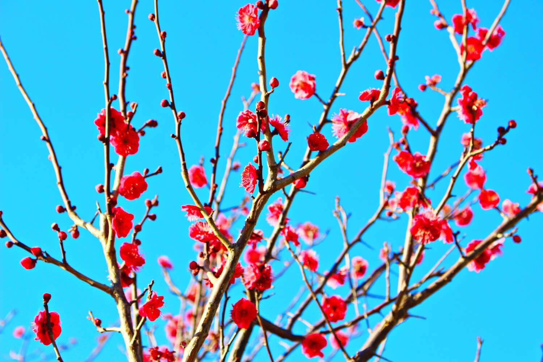 四国観光 > 花の甘い香りに包まれたい!四国の春を告げる梅の名所7か所