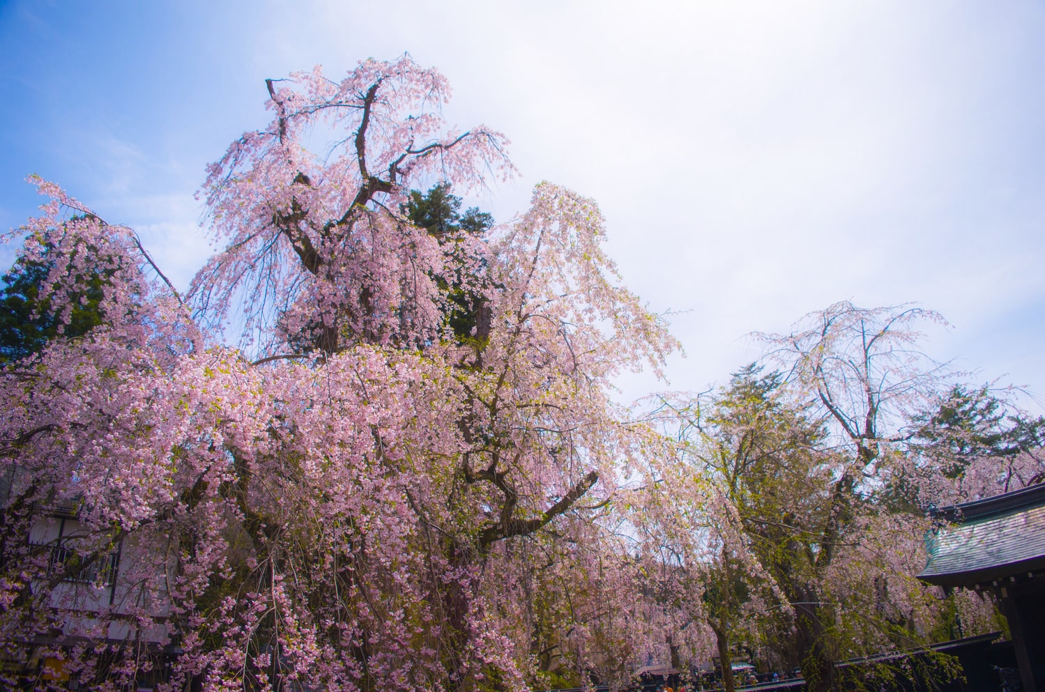 秋田観光 > 角館観光 > これぞ日本の風情!時代を超えて人々を魅了する「しだれ桜」の名所まとめ