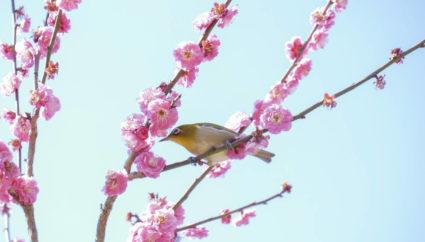 中国地方観光 > 春の訪れを告げる梅の花を見に行こう!中国地方の観梅スポットおすすめ6選