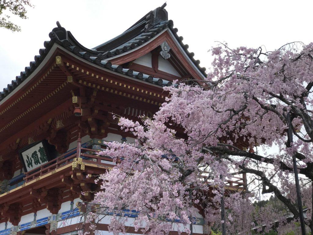 勝尾寺のしだれ桜
