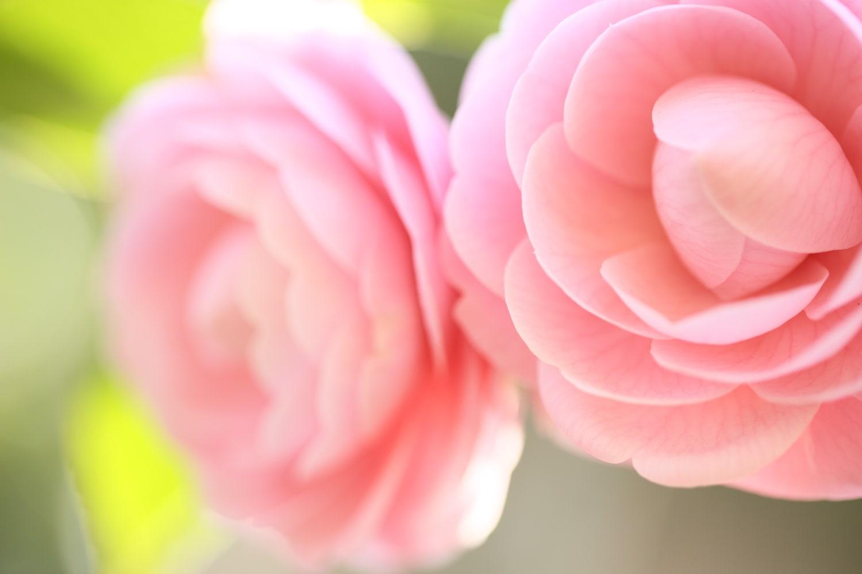 東京観光 > 東京の町田市にある「町田ぼたん園」について。春にたくさんの牡丹を見よう